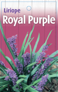 Liriope-Royal-Purple-191x300