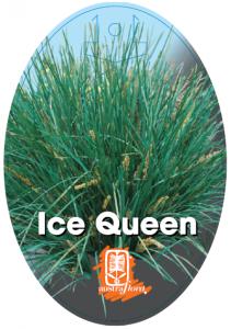 Lomadra-Ice-Queen-211x300