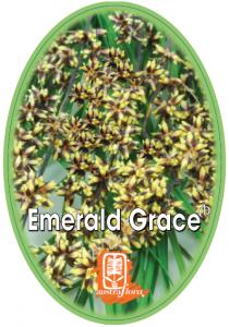 Lomandra-Emerald-Grace-210x300