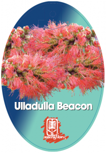 Melaleuca-Ulladulla-Beacon-208x300