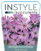 Mesembryanthemum-Pink-1-142x300
