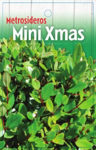 Metrosideros-Mini-Xmas-192x300