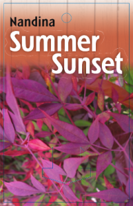 Nandina-Summer-Sunset-193x300
