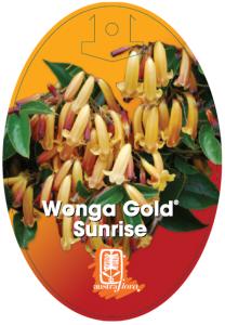 Pandorea-Wonga-Gold-Sunrise-208x300