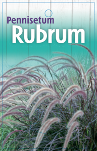 Pennisetum-Rubrum-192x300