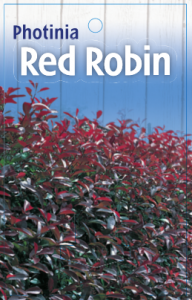 Photinia-Red-Robin-192x300