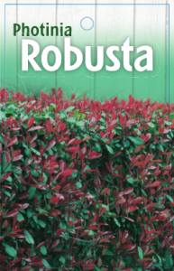 Photinia-Robusta-193x300