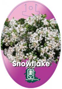 Pimelea-Snowflake-209x300