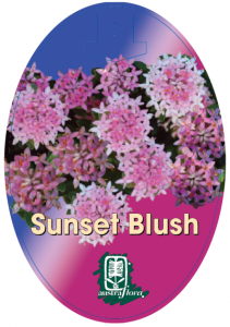 Pimelea-Sunset-Blush-211x300