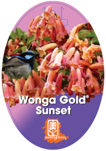 Pimelea-Wonga-Gold-Sunset-210x300