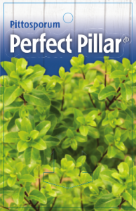 Pittosporum-Perfect-Pillar-194x300