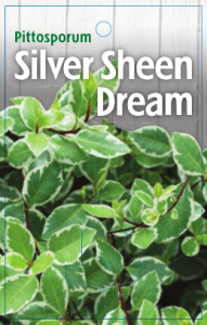 Pittosporum-Silver-Sheen-Dream-191x300