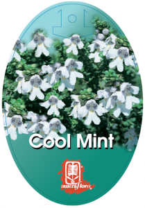 Prostanthera-Cool-Mint-209x300