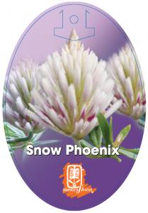 Ptilotus-Snow-Phoenix-209x300
