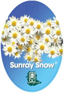 Rhodanthe-Sunray-Snow-208x300